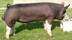 conover-show-pigs-136.jpg