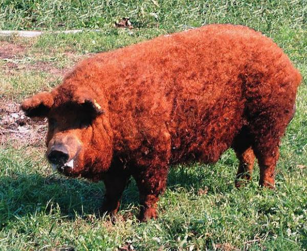 wooly-pigs-153.jpg